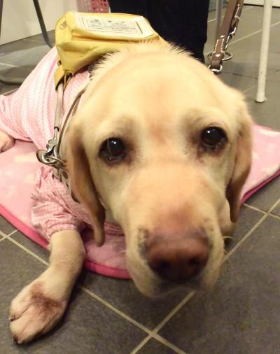 藤田さんの「体の一部」である盲導犬スイフト。4歳のメスだそうです